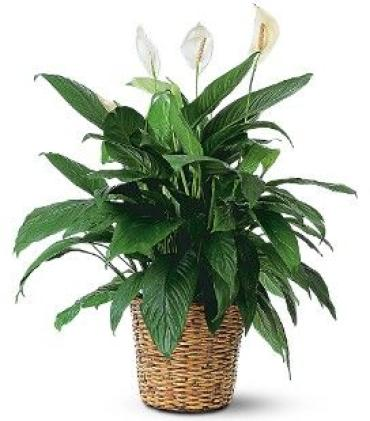 Large Floor Plants
