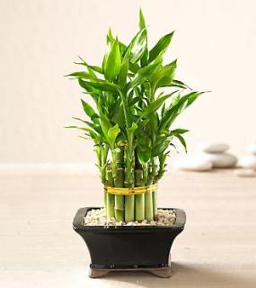 Double Lucky Pyramid Bamboo