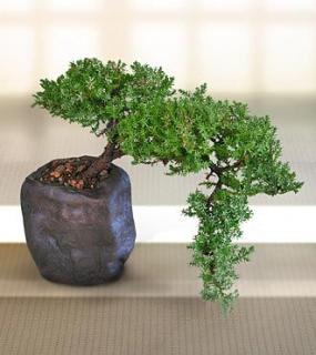 Living Art Green Juniper Bonsai