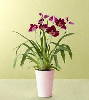 Heart\'s Warming Orchid Plant